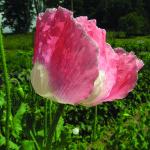 mak bily I pardubicko ruztovy květ (z bile kvet makovic 13